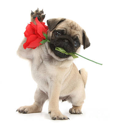Photograph - The Love Pug by Warren Photographic