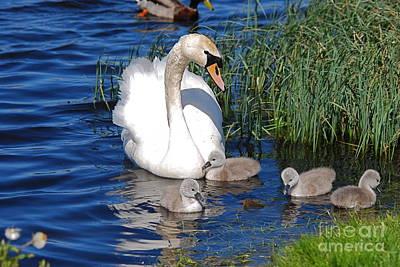 The Lovely Mrs Swan And Family Art Print by Doug Thwaites