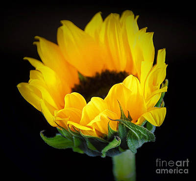 The Finest Floral Art Photograph - The Lovely Sunflower by Ray Shrewsberry