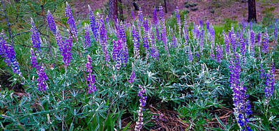 Photograph - The Lupine Convention by Jennifer Lake