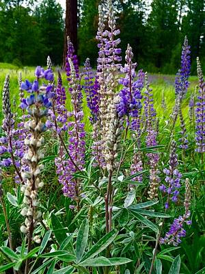Photograph - The Lupine Crowd by Jennifer Lake