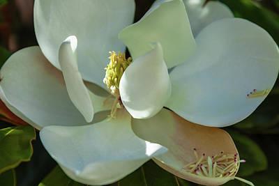 Photograph - The Magnolia by Jonathan Nguyen
