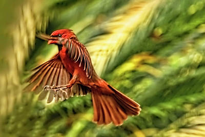 Photograph - The Male Cardinal Approaches by Kay Brewer