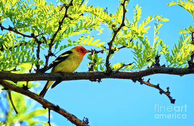 Photograph - The Male Western Tanager by Robert Bales