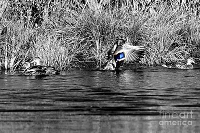 Photograph - The Mallard Drake by Sheila Ping