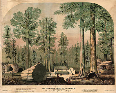 Royalty-Free and Rights-Managed Images - The Mammoth Trees of California - Giant Sequoia - Historical Print for Nature Lover by Studio Grafiikka