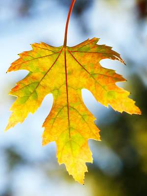The Maple Leaf Original