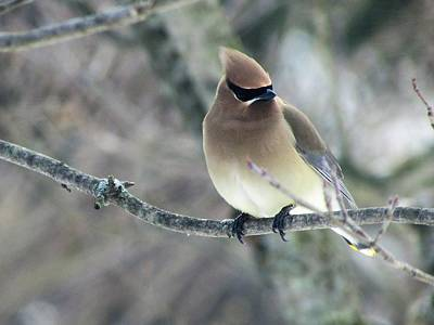 Photograph - The Masked Cedar Waxwing by Jenny Regan