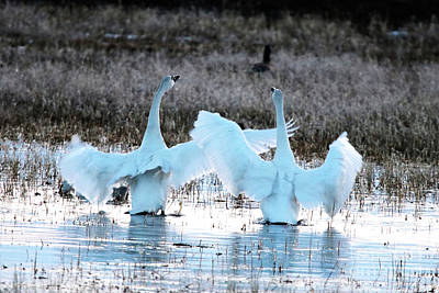 Photograph - The Mating Dance by Alyce Taylor