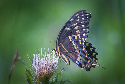 Photograph - The Mattamuskeet Butterfly by Cindy Hartman