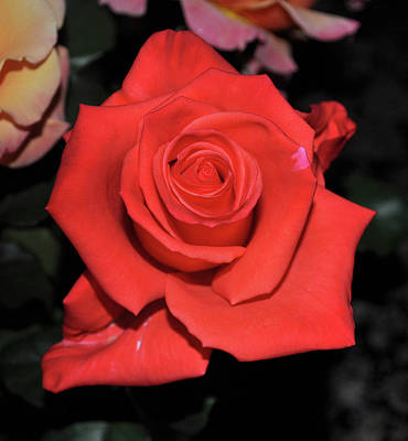 Photograph - The Meaning Of A Red Rose by Jay Milo