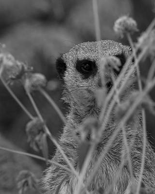 Photograph - The Meerkat Bw by Ernie Echols