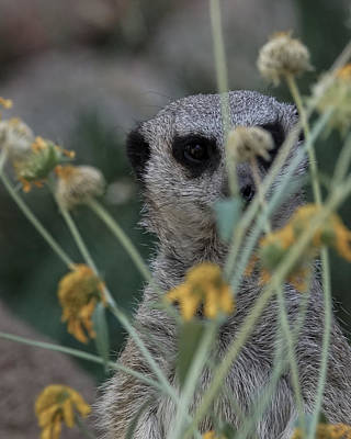 Photograph - The Meerkat Color by Ernie Echols