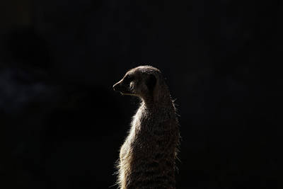 Photograph - The Meerkat by Ernie Echols