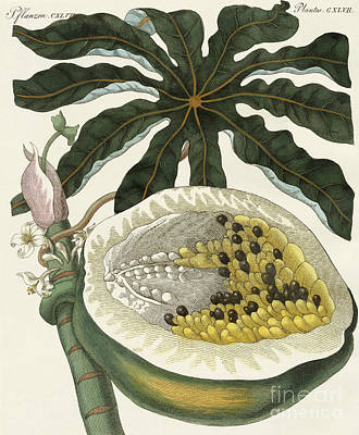Exotic Plants Drawing - The Melon Or Papaya Tree by German School