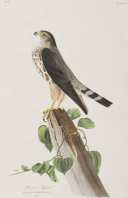 Hawk Painting - The Merlin by John James Audubon