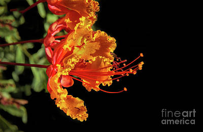 Photograph - The Mexican Bird Of Paradise by Robert Bales