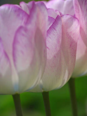 Tulips Photograph - The Middle by Juergen Roth