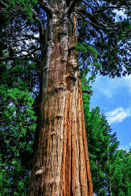 Photograph - The Mighty Sequoia  by Kyle Findley