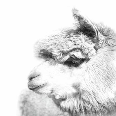 Llama Photograph - The Misty by Robin-Lee Vieira
