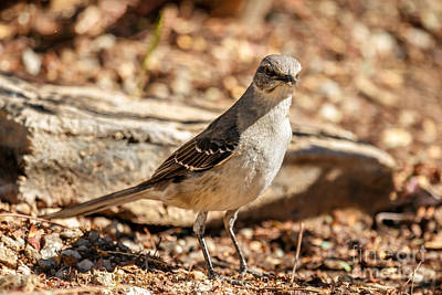 Photograph - The Mockingbird by Robert Bales