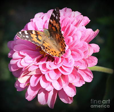 Photograph - The Monarch And The Zinnia by Dora Sofia Caputo Photographic Art and Design