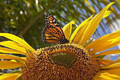 Photograph - The Monarch And The Sunflower by Roger Mullenhour