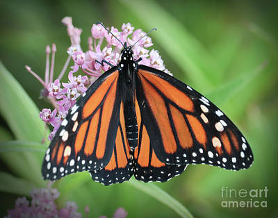 Photograph - The Monarch by Anita Oakley