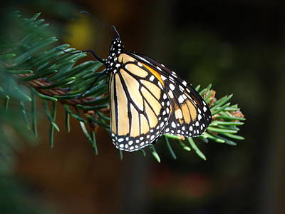 Butterfly Photograph - The Monarch Miracle by Rebecca Overton