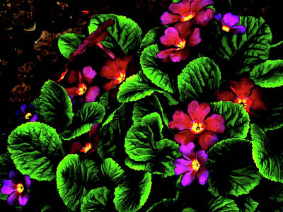 Digital Art - The Moody Primrose by Steve Taylor