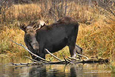 The Moose And The Branch Art Print by Adam Jewell