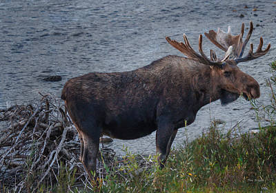 Photograph - The Moose From Moose by Tim Bryan