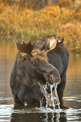 Photograph - The Moose Lunch Drool by Adam Jewell
