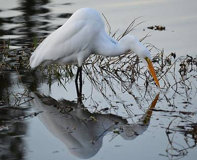 Photograph - The Narcissist - Great Egret by rd Erickson
