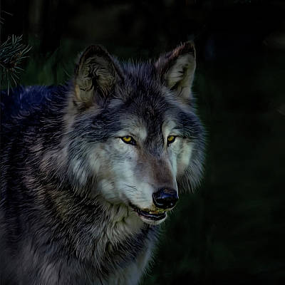 Photograph - The Night Belongs To The Wolf by Brian Tarr