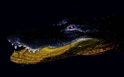 Alligator Photograph - The Night Prowler by Mark Andrew Thomas