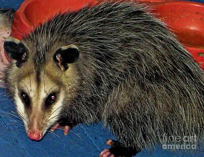 Photograph - The Night Visitor Opossum Wall Art by Carol F Austin