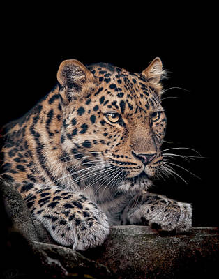 Leopard Wall Art - Photograph - The Night Watchman by Paul Neville