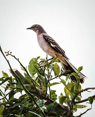 Photograph - The Northern Mockingbird by Robert Bales