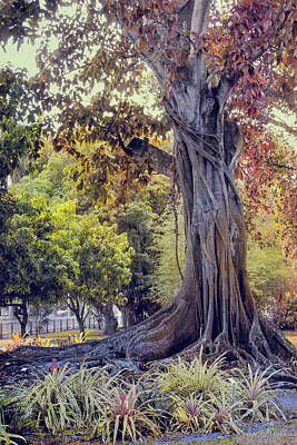 Photograph - The Old Banyan Tree by John Rivera