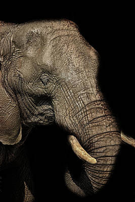African Wildlife Photograph - The Old Elephant by Martin Newman