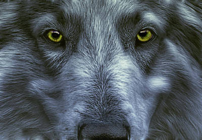 Fractalius Photograph - The Old Grey Wolf by Joachim G Pinkawa