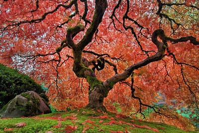 Pacific Northwest Photograph - The Old Japanese Maple Tree In Autumn by David Gn