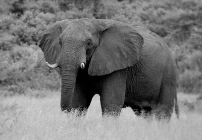 Elephant Photograph - The Old Man  by Garreth Brown