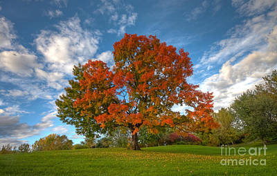 The Old Maple Art Print