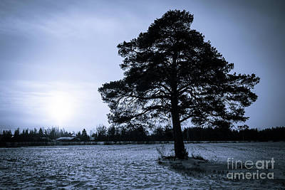 Photograph - The Old Pine by Ismo Raisanen