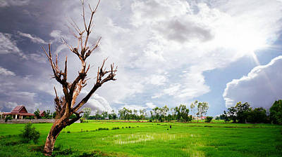Photograph - The Old Tree And Rice Paddy by Ian Gledhill