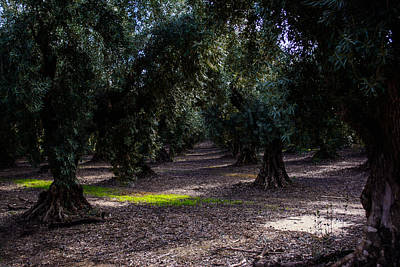 Photograph - The Olive Grove by Tikvah's Hope