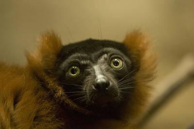 The Omaha Zoos Red Ruffed Lemur Varecia Art Print by Joel Sartore