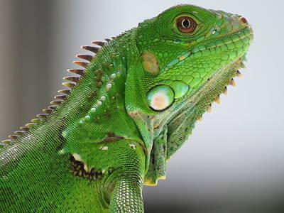 Photograph - The Omnivorous Lizard by Jenny Regan